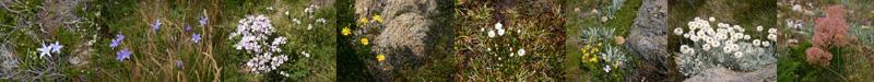 aus 07-08 kosciuskoflowers