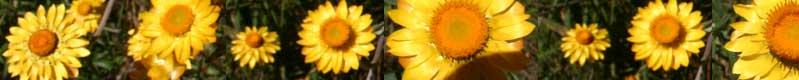 aus 07-08 strobloemenlang